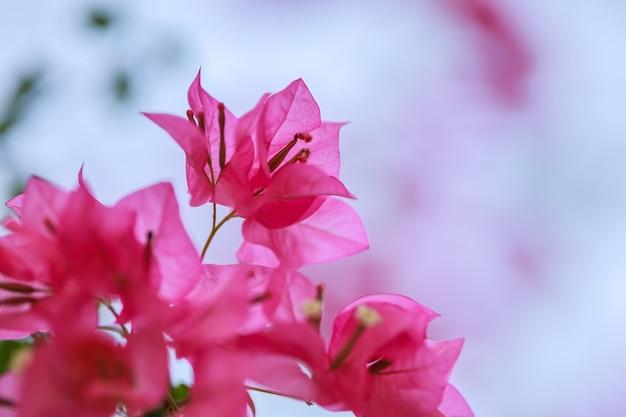 美しい自然のピンクのブーゲンビリアの花のクローズアップ