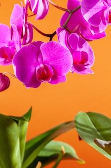 美しい胡蝶蘭の花のクローズアップ
