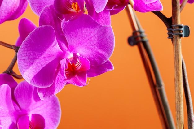 아름 다운 호 접 난초 꽃의 클로즈업