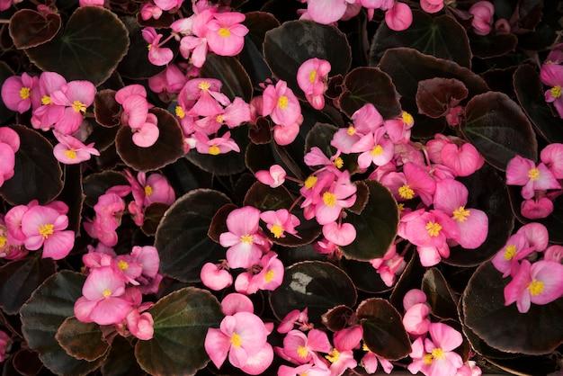 아름 다운 핑크 베고니아 꽃의 근접 촬영
