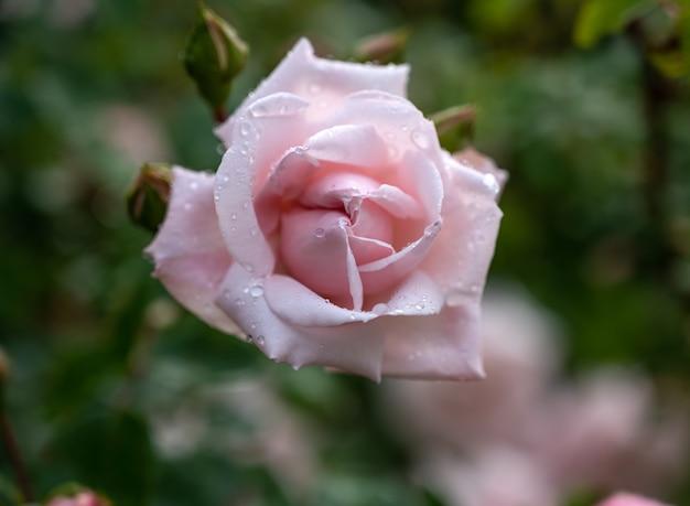 晴れた夏の日の庭で美しいピンクのバラのクローズアップ