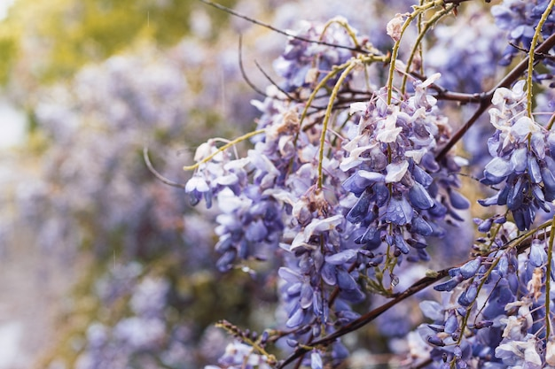 春の畑に生えている雨で濡れた美しい紫色の藤の花のクローズアップ