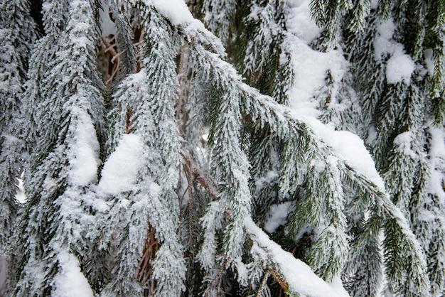 冬の雪に覆われた美しい滑らかな雪に覆われたモミの枝のクローズアップ。