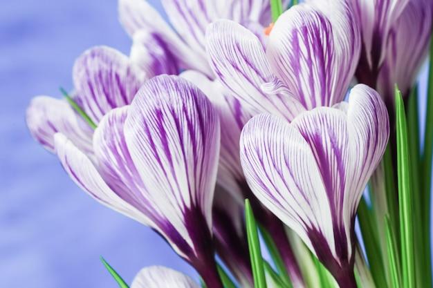 아름 다운 봄 crocuses 꽃 닫습니다. 휴일 봄 꽃.