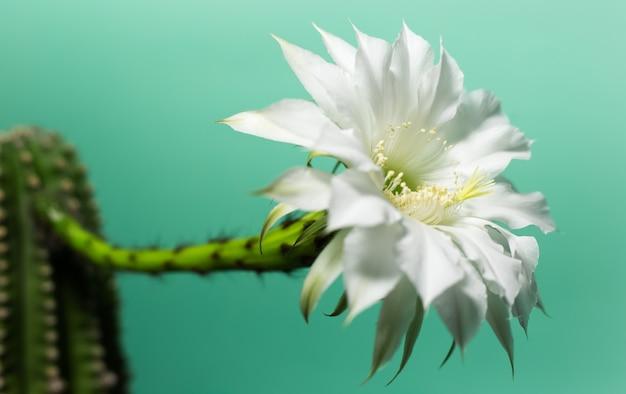 Крупным планом красивый белый цветок кактуса на фоне зеленого цвета.