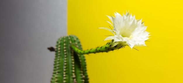 Крупным планом красивый белый цветок кактуса на желтом и сером фоне.