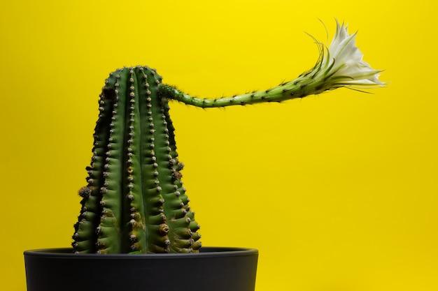 Крупный план красивого белого цветка кактуса на желтом фоне.