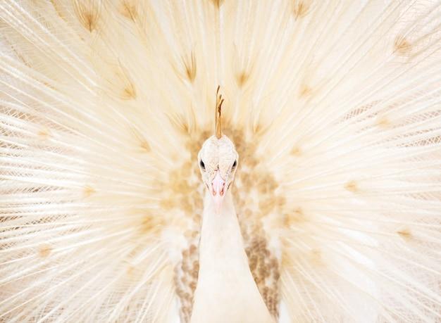 Крупным планом красивый белый павлин с перьями