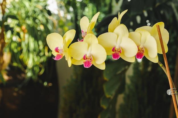 背景をぼかした写真の美しい黄色の蘭の花のクローズアップ