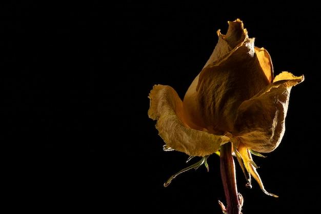 아름 다운 노란 장미의 근접 촬영