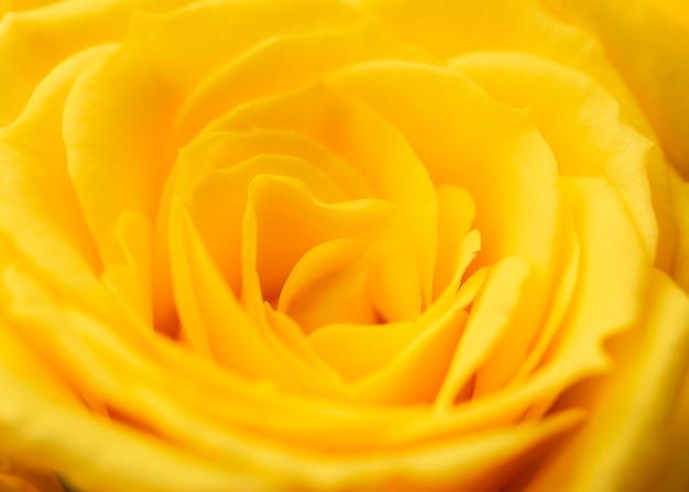 Крупный план красиво распустившейся розы