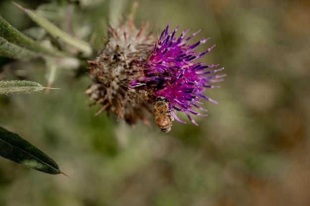 Закройте пчелы собирает мед из чертополоха, макроса.