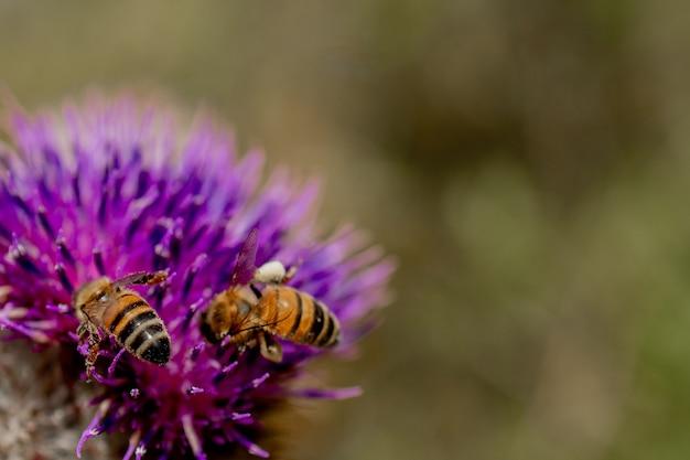 닫기 꿀벌의 매크로 엉 겅 퀴에서 꿀을 수집합니다.