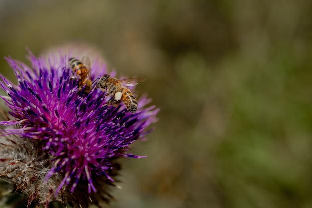꿀벌의 클로즈업은 엉겅퀴, 매크로에서 꿀을 수집합니다.