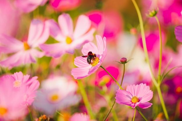 ピンクの咲くコスモスの花の蜂のクローズアップ。