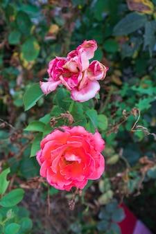 Закройте цветущие красивые мягкие розовые бутоны розы в саду в весеннее время. мягкий розовый цветок и размытый фон.