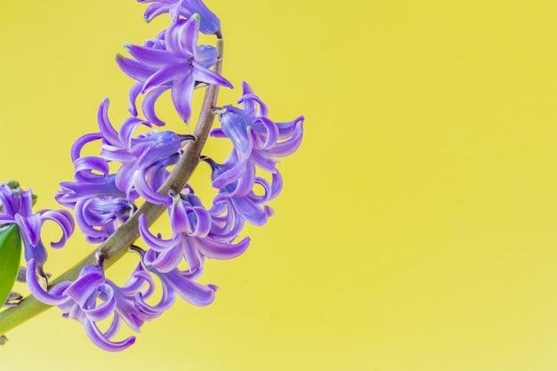 노란색 배경에 피 블루 히 아 신 스 꽃의 닫습니다.