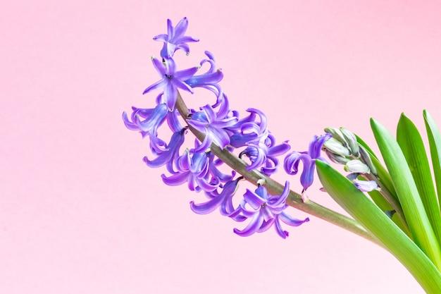 피 블루 히 아 신 스 꽃의 클로즈업