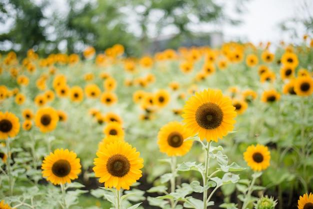 Закройте цветущего подсолнечника в поле с размытым фоном природы.