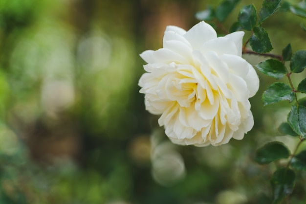 흐린 녹색 잎이 많은 여름 따뜻한 빛에 피는 흰 장미의 닫습니다