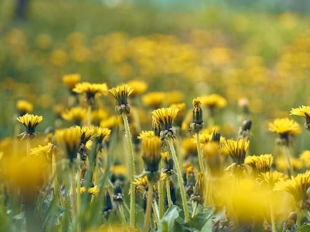 咲く黄色いタンポポの花のクローズアップ。