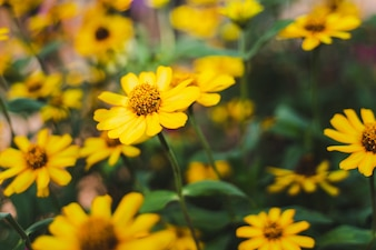 Close up of blooming yellow flowers in summer warm light with lot of blurred green leaves