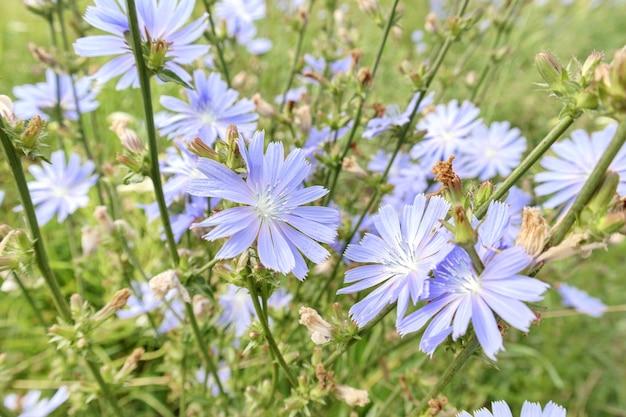 フィールド、選択的な焦点の青いチコリの花のクローズアップ。夏の背景