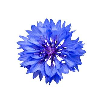 흰색 배경에 고립 된 파란색 수레 국화 꽃 닫습니다. 블루 수레 국화 허브 또는 학사 단추 꽃입니다. 옥수수 꽃의 매크로 사진입니다.