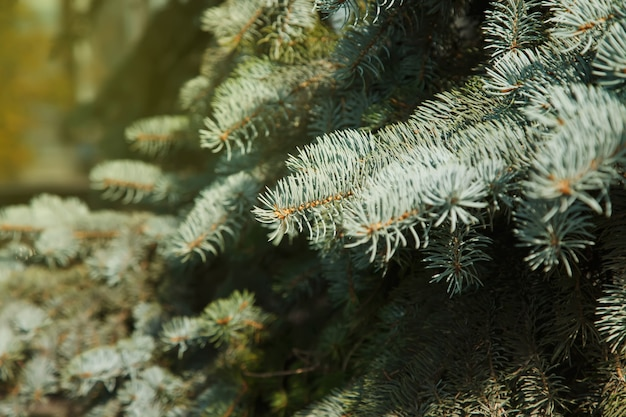 학명 picea pungens가 있는 푸른 가문비나무 가지의 클로즈업은 가문비나무의 일종입니다. 창의성을 위한 자연 배경입니다. 선택적 초점입니다. 웹사이트 또는 배너용 이미지입니다. 복사 공간