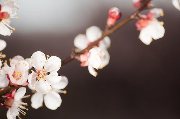 만개 한 분홍색 살구 나무 꽃과 지점의 닫습니다