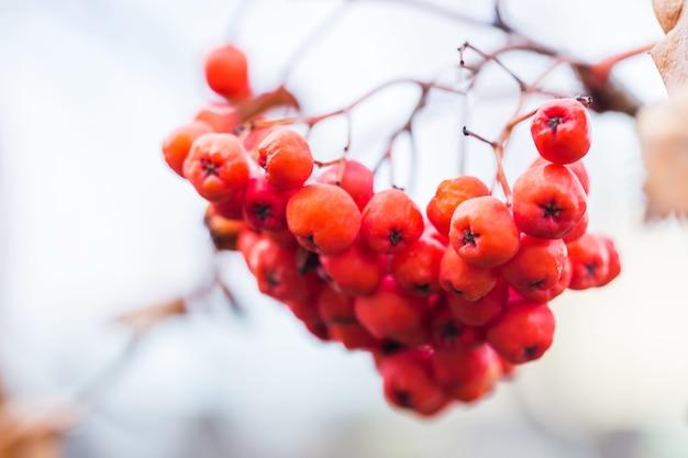 木の上の明るいナナカマドの果実のクローズアップ