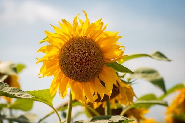 Крупный план яркого подсолнечника, почти выцветшего после цветения. подсолнухи в поле