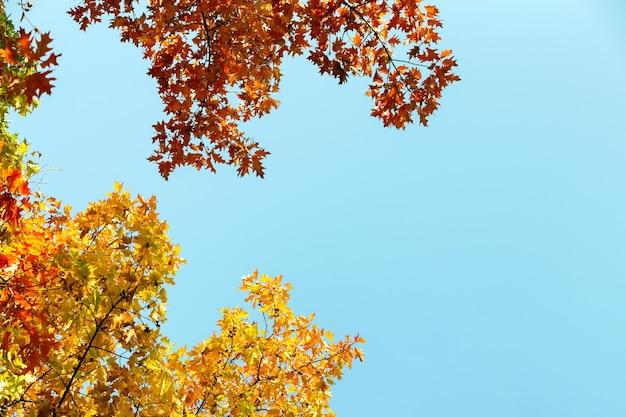 秋の公園で鮮やかな背景をぼかした写真と秋の木の枝に明るい黄色と赤のカエデの葉のクローズアップ。