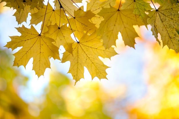 Крупным планом ярко-желтых и красных кленовых листьев на ветвях деревьев осенью