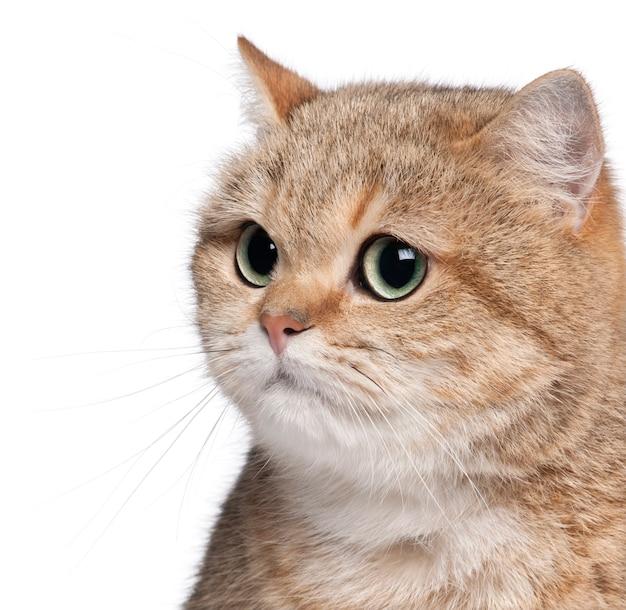 ブリティッシュショートヘアの猫、2歳のクローズアップ