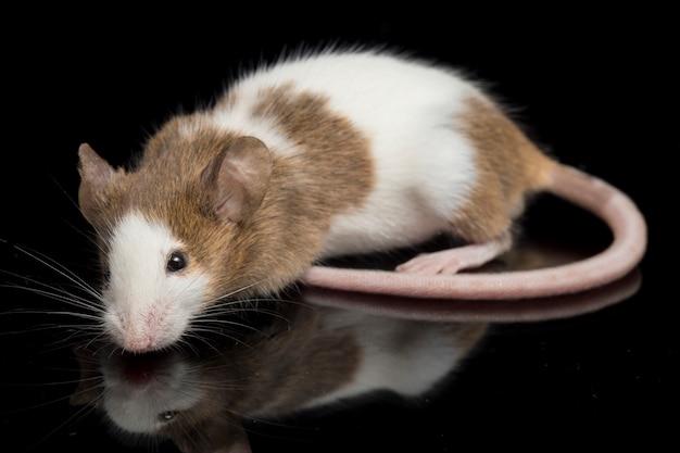 茶色がかった白いマウスのクローズアップ