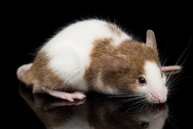 Крупный план коричнево-белой мыши