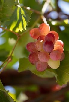 Крупный план гроздей спелого винного винограда на лозе