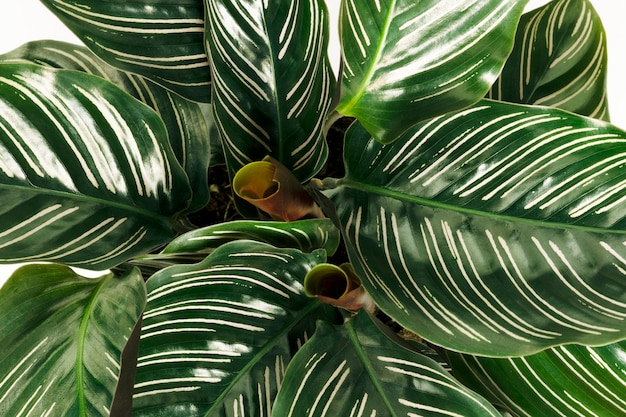 Calatheaornataの葉のクローズアップ