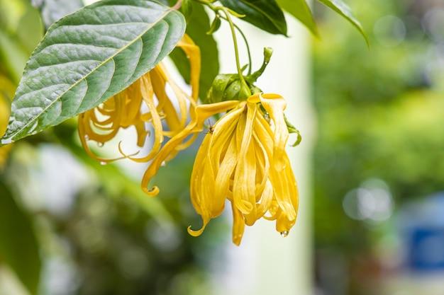 雨が降った後の葉を持つcananga odorata花のクローズアップ。