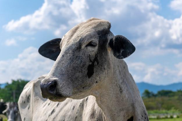 青い空と雲と牛の頭のクローズアップ