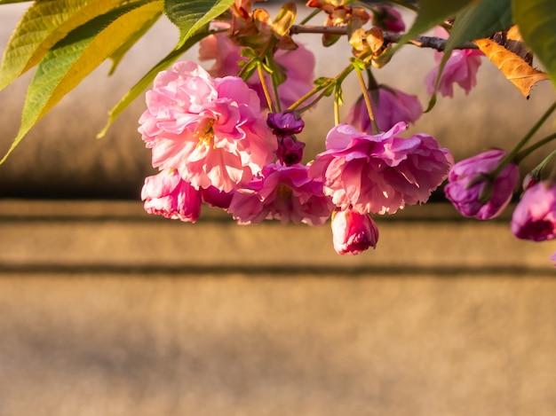 정원에서 벚꽃의 근접 촬영입니다.