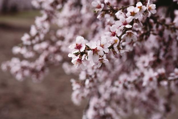 Крупный план сакуры на дереве