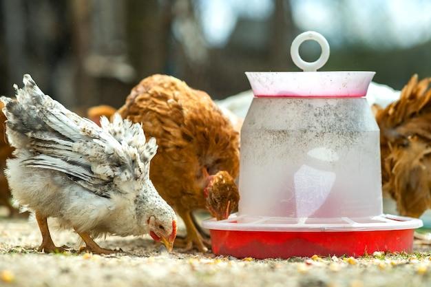 鳥の餌箱が付いている納屋の庭に立っている鶏のクローズ アップ。
