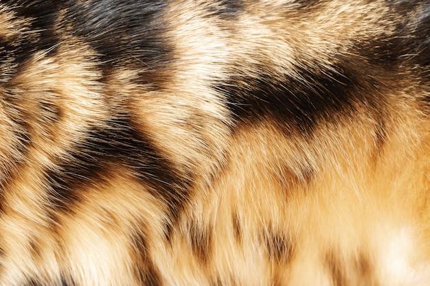 벵골 고양이의 외 투의 클로즈업