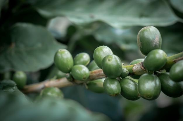 커피 정원에서 커피 콩과 커피 나무를 닫습니다.