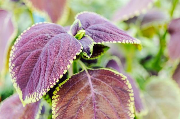 Крупный план листьев колеуса (окрашенная крапива). ландшафтный дизайн. яркое растение с красивыми лисицами в саду.
