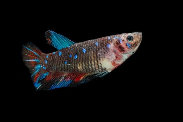 Закройте красочных рыб бетта. красивые сиамские боевые рыбы, аватар кои, изолированные на черном.