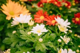 Крупный план разноцветных цветов хризантемы в саду