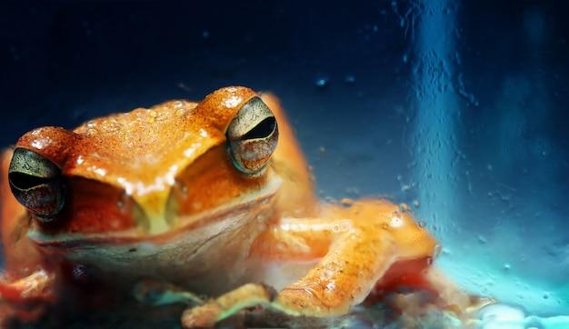 一般的なオレンジ色のブッシュカエルのクローズアップ